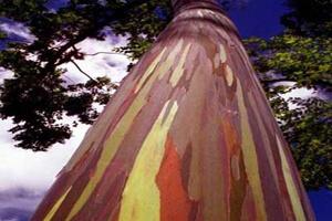 درخت رنگین کمان + تصاویر