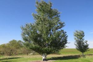 همه چیز درباره درخت صنوبر